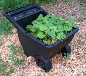 Sweet potatoes in wheel barrel