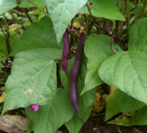 Royal Burgundy string bean